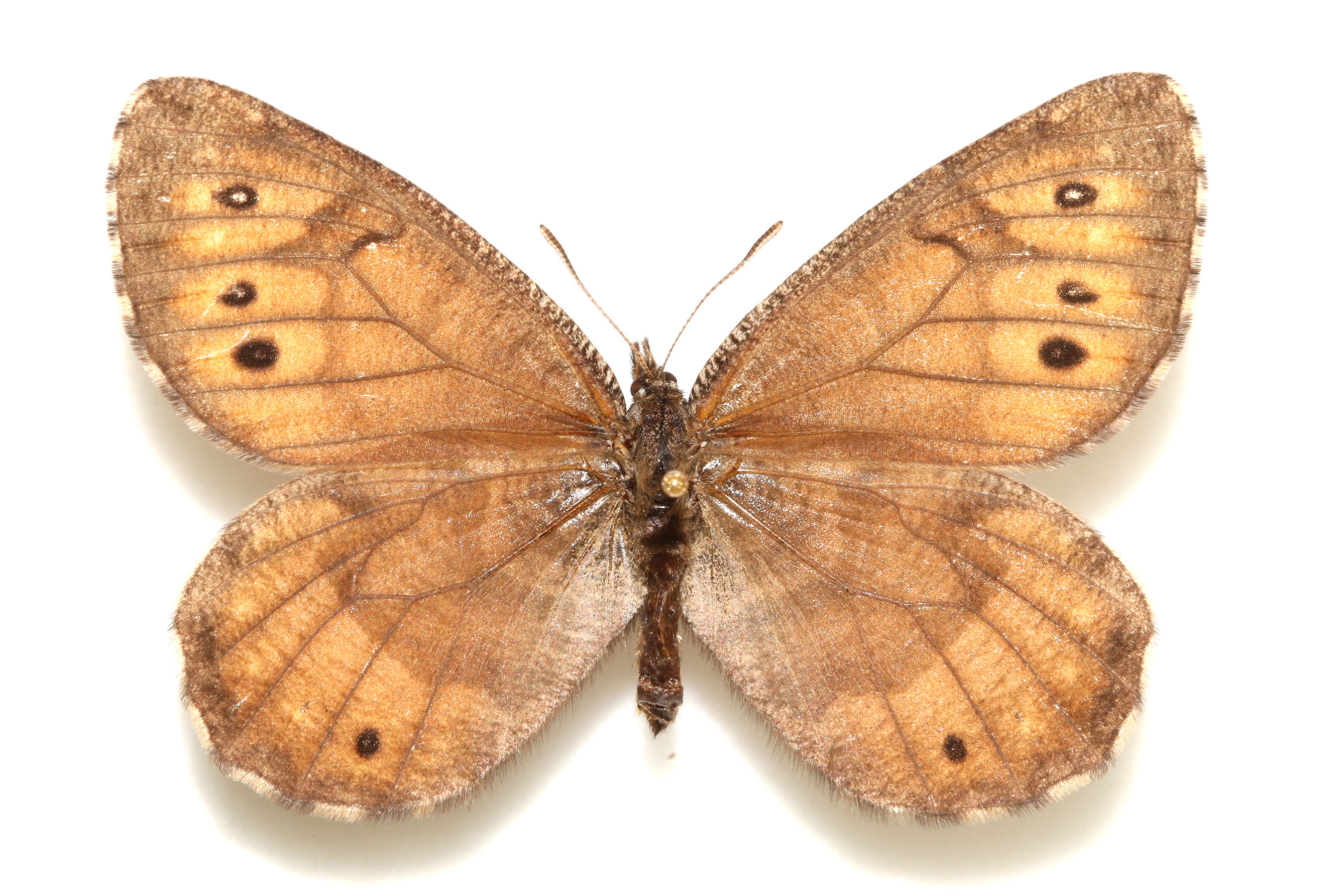 The top side of the Alaskan butterfly