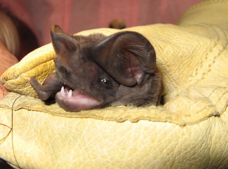 florida bonneted bat in glove