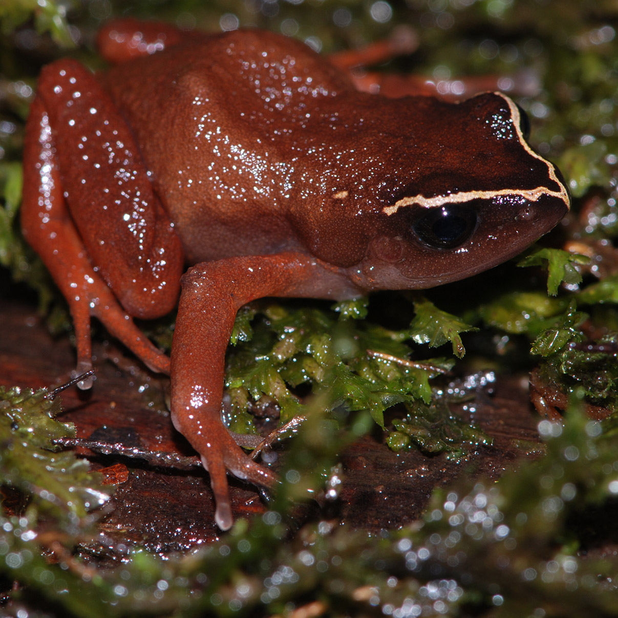 Deadly fungus threatens African frogs