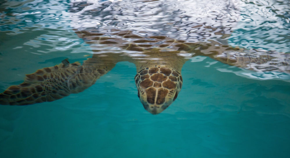 Cisco beneath the surface of the water at the Sea Turtle Hospital