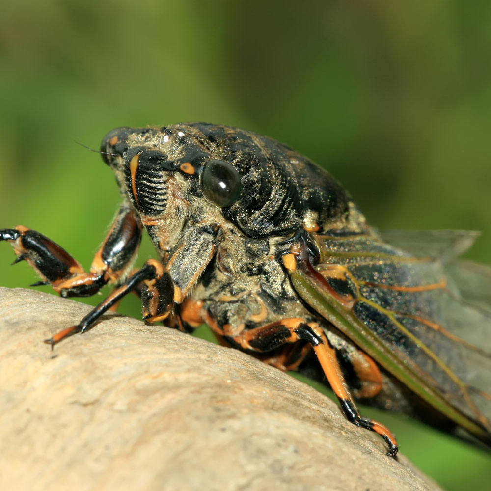 a study of cicada More examples for hypothesis testing part i: components this study does not provide evidence at the 05 significance in a study of the periodical cicada.