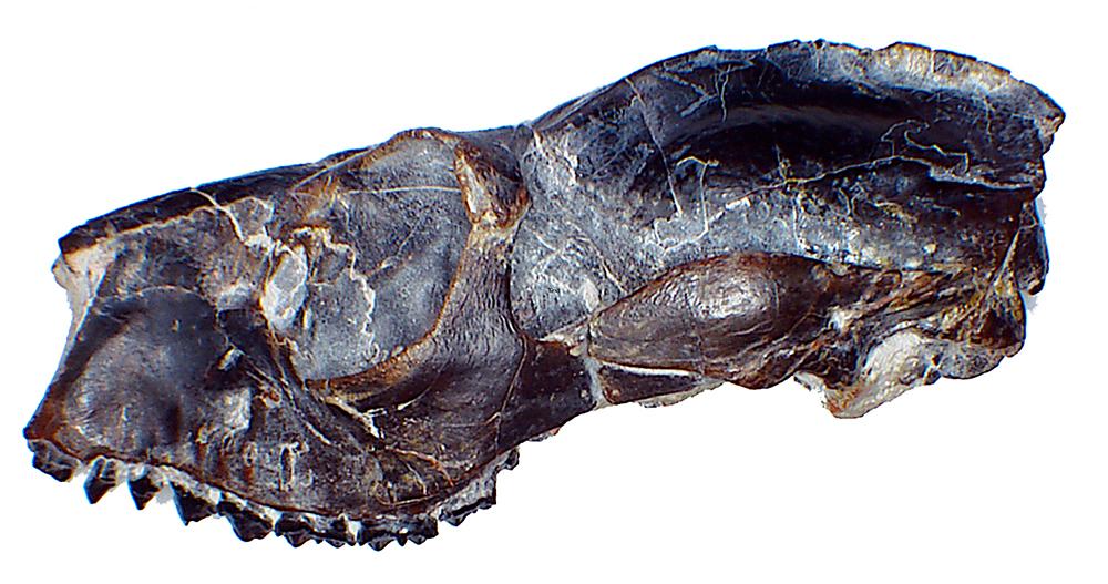 side view of Notharctus tenebrosus's skull.