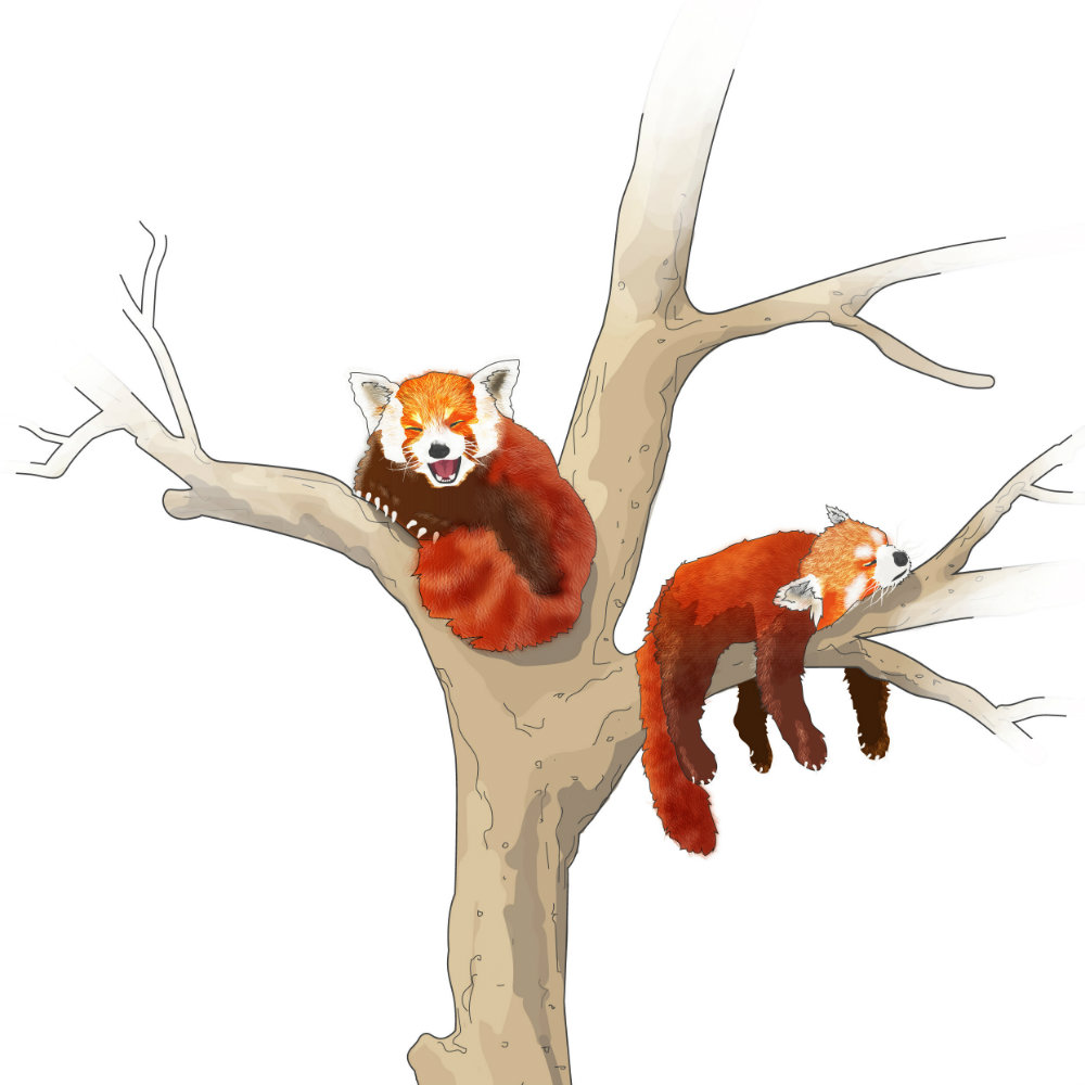 Red Pandas illustration