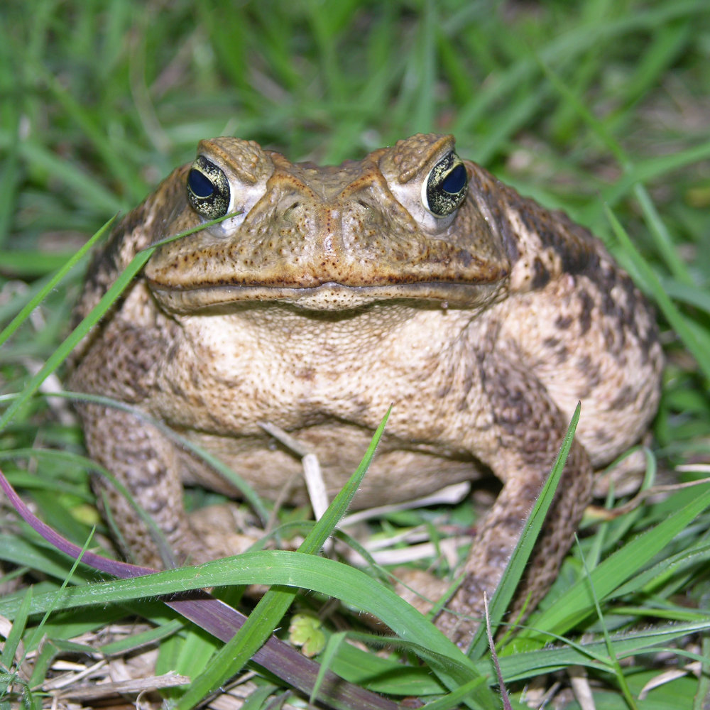 UF expert: Help prevent cane toads from poisoning your pet
