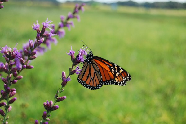 Want to help monarchs? Plant more than milkweed, study says