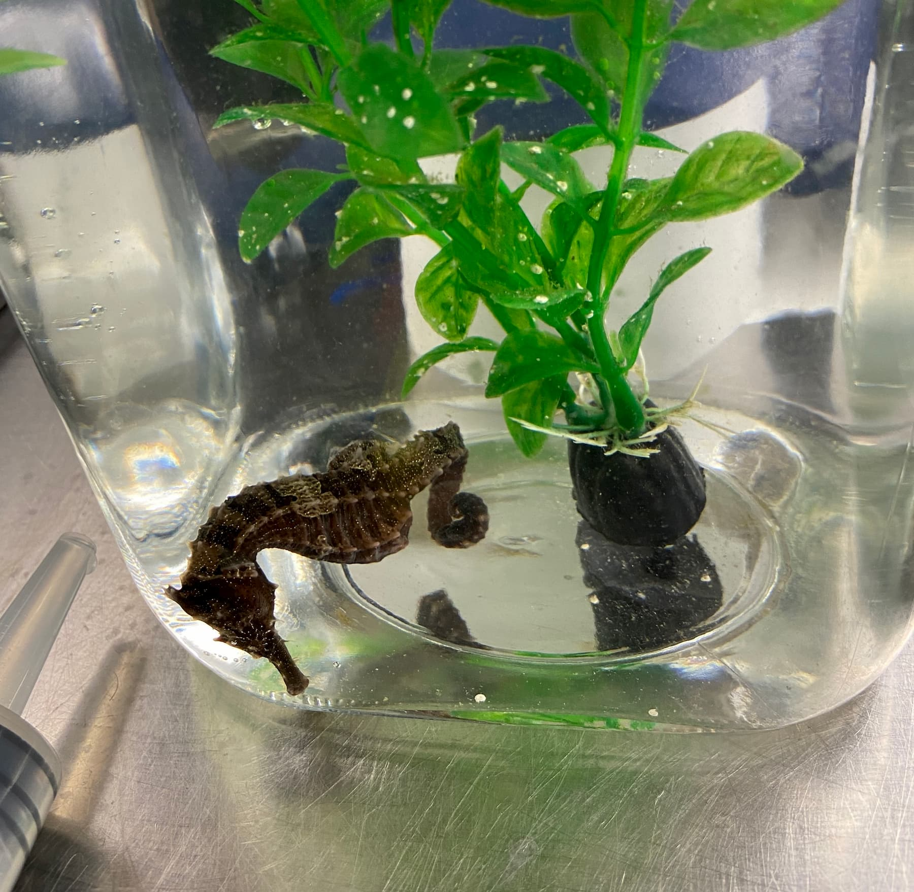 UF vets use novel treatment to save Louie, the trailblazing seahorse