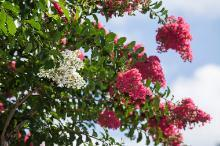A healthy, in bloom crape myrtle, photographed recently in Gainesville, Fla.