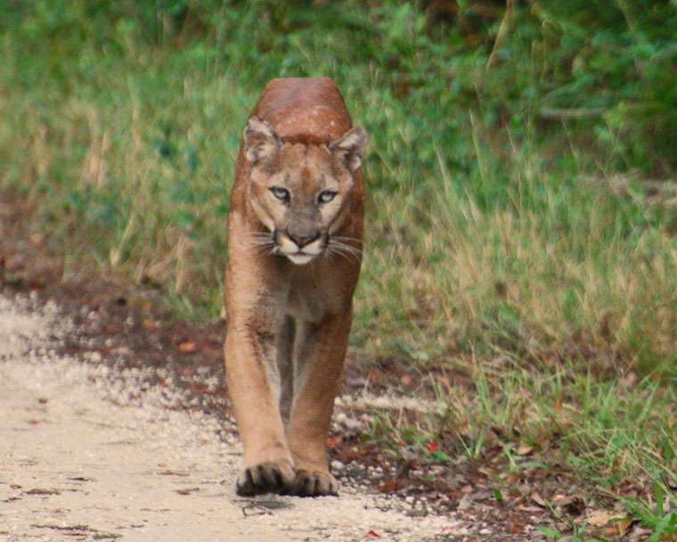 The comeback of endangered Florida panthers like this one has caused some problems for cattle ranchers.
