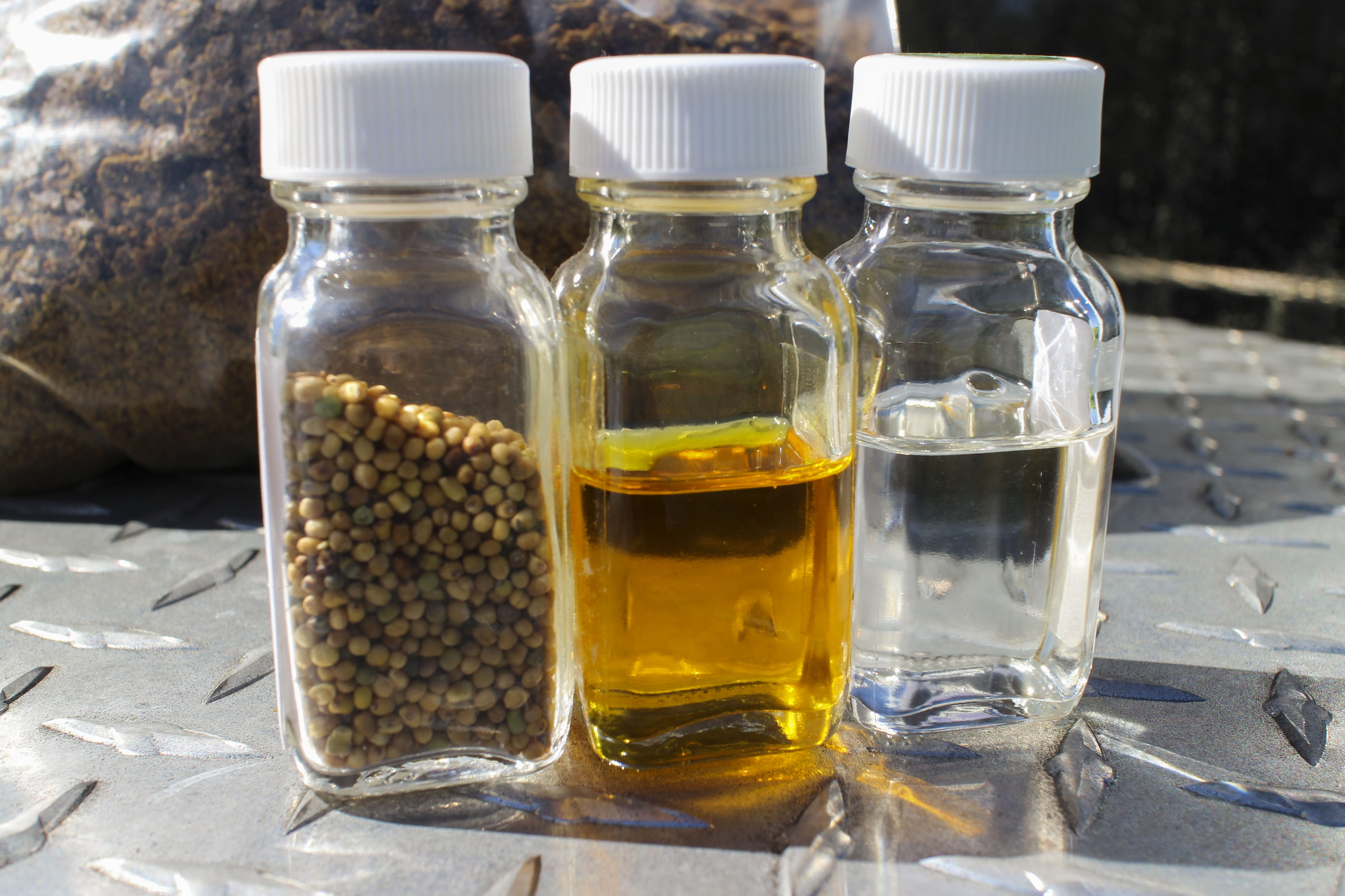 Mustard seeds in varying stages of biofuel production. Credit: UF/IFAS